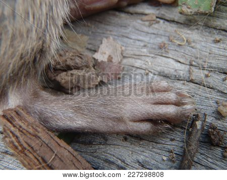 Close Up Of A Brown Colored Rats Paw