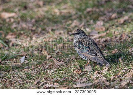 Common Starling Sturnus Vulgaris Sitting In Grass. Selective Focus
