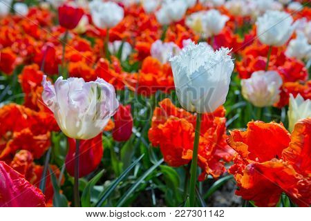 Beautiful Tulips In The Spring Time. Close-up Of White And Red Tulips.