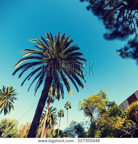 Pines And Palm Trees In Los Angeles, California