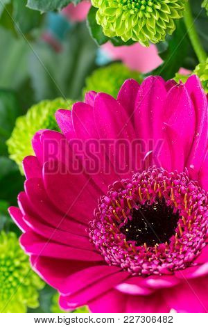 Pink Gerbera Close Up. Fresh Brightly Coloured Florist Flowers, With Button Type Chrysanthemums. Ver