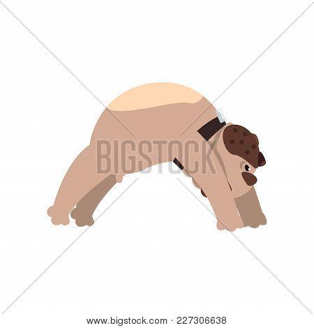 French Bulldog Doing Yoga Bridge Pose, Funny Dog Practicing Yoga Cartoon Vector Illustration Isolate