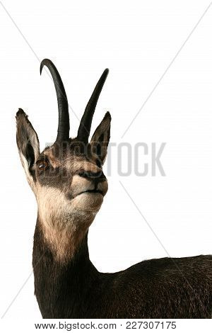 Chamois Trophy Animals Wild Taxidermy Objects Isolated