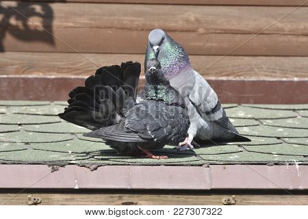 Bird Pigeon Love Is A Ritual Of Courtship For The Lady After The Lady