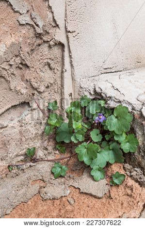 Pennywort Plant, Cymbalaria Muralis, Growing In A Crack In An Old Messy Rendered Wall. Copy Space. V
