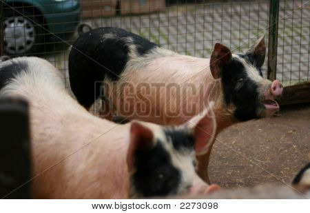 Two Pigs In A Pen At A Farm