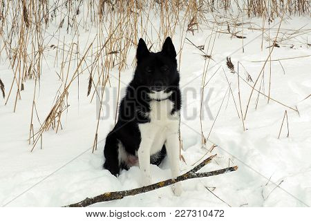 Laika Russo European Winter In The Snow. Dog Hunting Black And White Color.