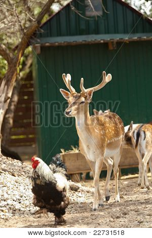 Fallow deer with big antlers with rooster on the farm yard poster