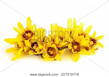 Wintersweet Or Chimonanthus Flowers Isolated On White Background