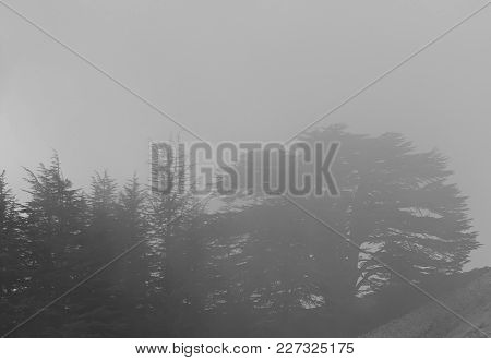 The Cedars Of God Forest Behind Fog In Lebanon.
