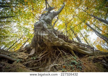 A Low Angle View Of Massive Roots Of Beech Tree In An Autumn Forest.