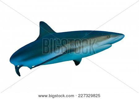 Shark isolated. Caribbean Reef Shark cutout on white background