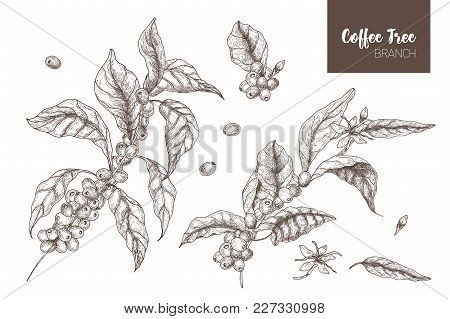 Bundle Of Elegant Botanical Drawings Of Coffea Or Coffee Tree Branches With Leaves, Flowers And Ripe