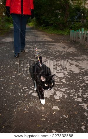 Black And White Cat Is Walked On The Harness With Girl On Urban Asphalt Path In Summer Evening.