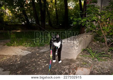 Black And White Cat  On Harness Is Standing And Looking To Somewhere In Sunny Summer Evening.