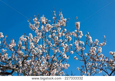 Beautiful White Flowers With Purple Stamens On Brown Branches Against A Bright Blue Sky In Early Spr