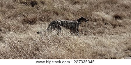 Cheetah In The Wildness Of The African Sabana