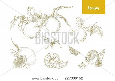Set Of Elegant Botanical Drawings Of Whole And Cut Lemons, Branches, Flowers And Leaves. Fresh Juicy