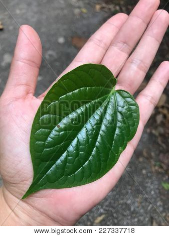 A leaf of piper sarmentosum also also locally known as sireh kaduk grown in the wild in asia, used for some southeast asian cuisine.