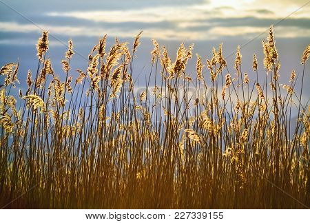 Tall And Dense Yellow Reed Shimmering During The Sunset