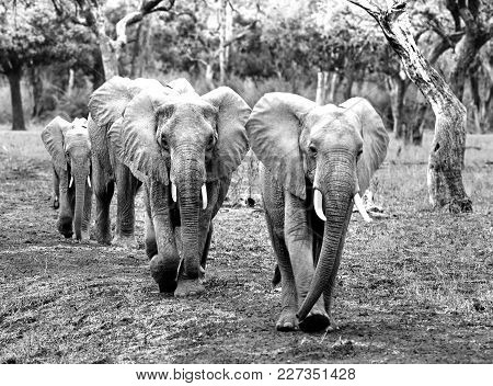 Black & White Image Of A Herd Of African Elephants Walking Through The African Bush With Nice Light