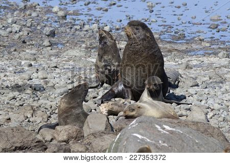 A Small Harem Of Northern Fur Seals On A Sea Beach On A Summer Day