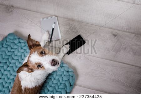 Jack Russell Terrier With A Pad On The Floor