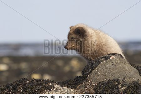 Commanders Blue Arctic Fox In Winter Dress Sitting Near A Stone In A Cast Strip On The Seashore