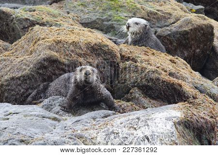 Sea Otters Sitting On Rocks At Low Tide On The Ocean Shore