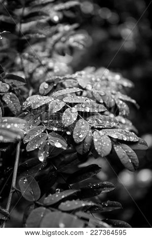 Drops Of Water On Leaves Of Acacia In Summer