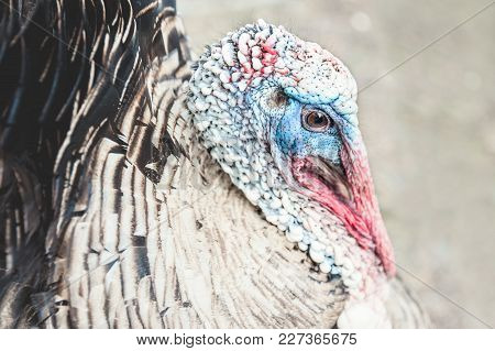 Head Of Adult Turkey With A Beak And Eyes. Close Up.