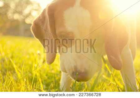 Soft Focus Backlit Portrait Of A Cute Beagle Puppy Walking In Green Grass In The Sunshine (looking S