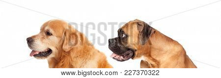 Two big dogs looking to the side isolated on a white background