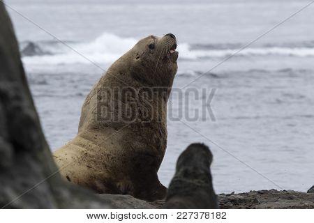 A Male Steller Sea Lion Sitting On A Sandy Beach On A Summer Day