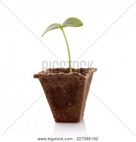 Young cucumber seedling in peat pot on a white background. Spring sprout, gardening. Vegetable growing.