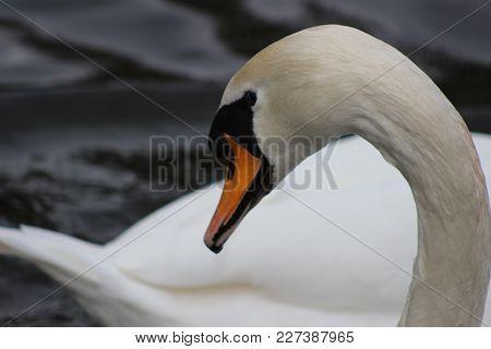 Mute Swan Head Shot Beautiful Animal That Is An Iconic Beauty Animal.