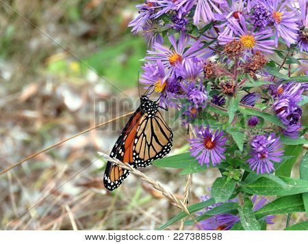 Monarch Butterfly On Purple Wild Asters In Forest Of Thornhill, Canada, September 25, 2017