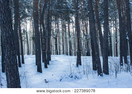 Bright Snowy Path In A Fantastic Pine Forest With Tall Trees Is Very Beautiful And No One Around