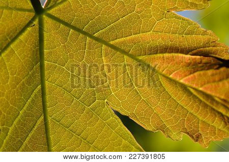 Maple Leaf In Sunlight With Impressive Pattern - Close-up