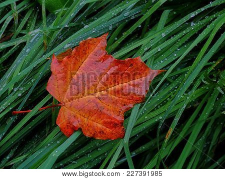 Lonely Leaf After Rain