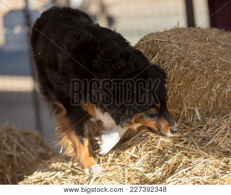 Australian Shepherd Searching The Bales Of Straw For A Rat In A Tube During A Hunt Game