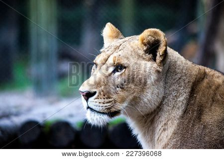 The female ligra. Face closeup of a hybrid of tiger and lion.