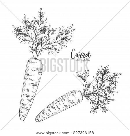 Vector Carrot Hand Drawn Illustration In The Style Of Engraving. Detailed Vegetarian Food Drawing. F
