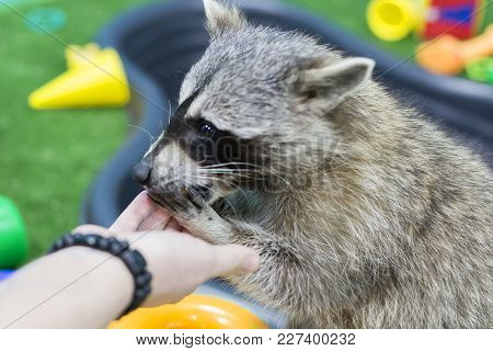 Raccoon In The Zoo, Eating Out Of Hand