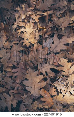Autumn Leaves Background. Fallen Oak Leaves Texture And Background For Design. Dry Oak Leaves On The