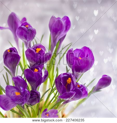 Violet Crocuses On The Grey Bokeh With Hearts. Spring March Or Easter Postcard Concept.