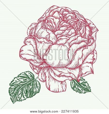 Rose Flower Engraving Vector Illustration. Scratch Board Style Imitation. Hand Drawn Image.