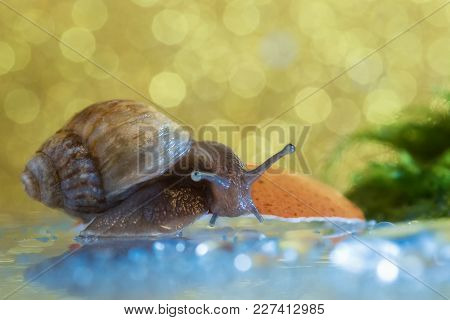 The Snail Of Aсhatina Craveni  Sits On The Shell And Looks