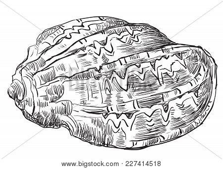 Hand Drawing Sketch Of Seashell. Vector Monochrome Illustration Of Seashell Isolated On White Backgr
