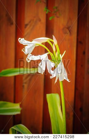 Amaryllis White Flower In Front Of Brown Wood Fence.